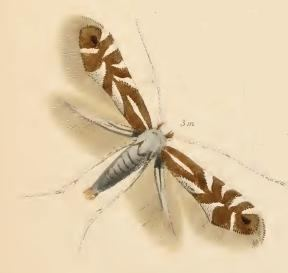 Phyllonorycter rajella