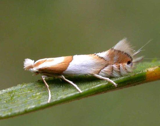 Phyllonorycter roboris Lepidoptera of Belgium Phyllonorycter roboris