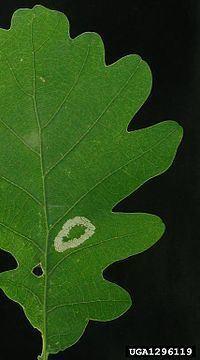 Phyllonorycter roboris httpsuploadwikimediaorgwikipediacommonsthu