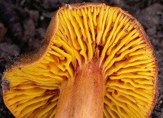 Phylloporus pelletieri Phylloporus pelletieri Discover Life