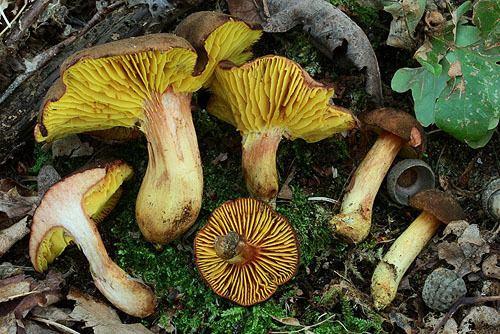Phylloporus pelletieri P pelletieri boletalescom