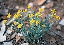 Physaria obcordata httpsuploadwikimediaorgwikipediacommonsthu