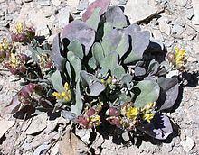 Physaria pruinosa httpsuploadwikimediaorgwikipediacommonsthu