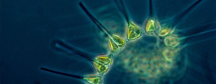 Phytoplankton oceanservicenoaagovfactsphytoplanktonjpg
