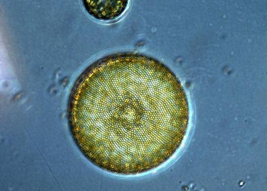 Phytoplankton Phytoplankton Woods Hole Oceanographic Institution