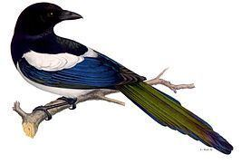 Pica (genus) httpsuploadwikimediaorgwikipediacommonsthu