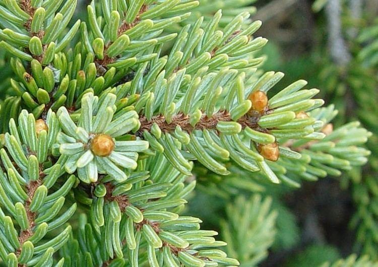 Picea mariana Picea mariana black spruce Go Botany