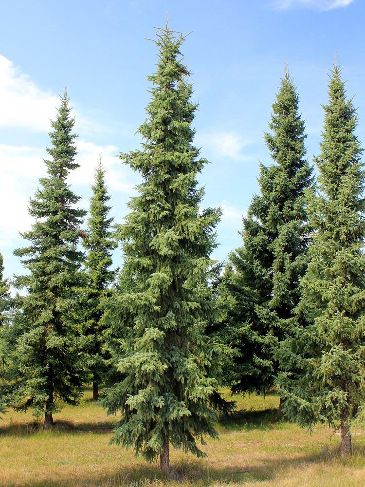 Picea mariana Picea mariana Mill Britton et al Checklist View