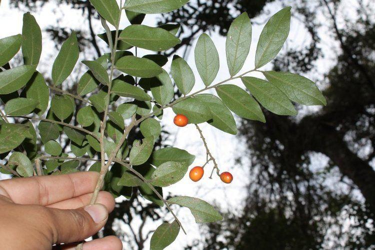 Picramnia Picramnia sellowii Useful Tropical Plants