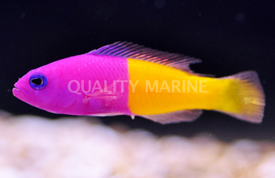 Pictichromis paccagnellae Bicolor Pictichromis paccagnellae Wild Dottyback Quality Marine