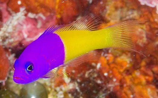 Pictichromis paccagnellae Royal Dottyback Pictichromis paccagnellae Australian Museum