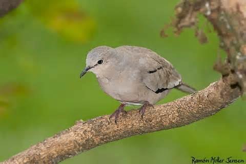 Picui ground dove More on Columbina picui Picui Ground Dove