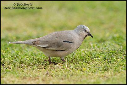 Picui ground dove httpswwwbobsteelephotocomImagesSpeciesImag