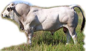 Muscle Piedmontese Cattle