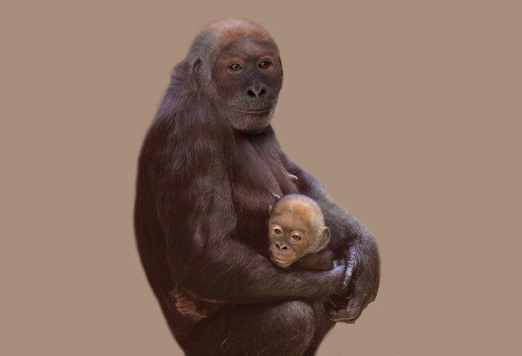 Pierolapithecus 119 MillionYearOld Fossil of Pierolapithecus Analyzed by