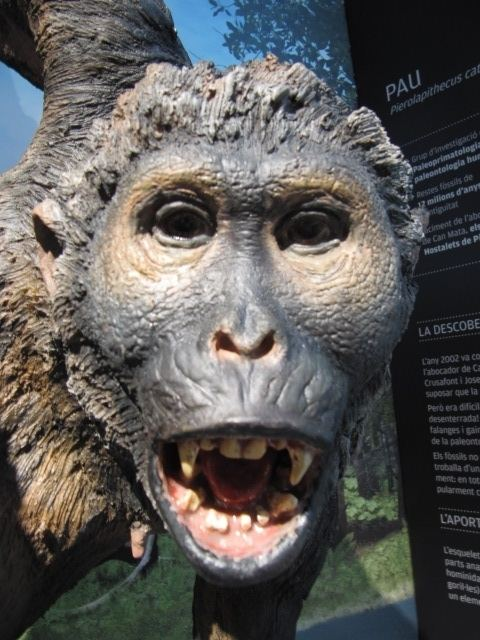 Pierolapithecus Pierolapithecus Online Biology Dictionary