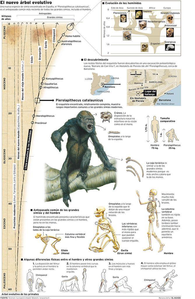 Pierolapithecus 20041116PierolapithecusCatalaunicus Mariano Zafra Molina Flickr