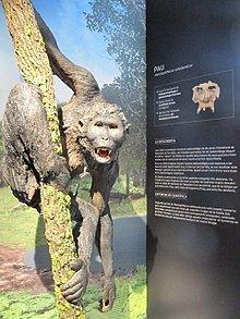 Pierolapithecus httpsuploadwikimediaorgwikipediacommonsthu