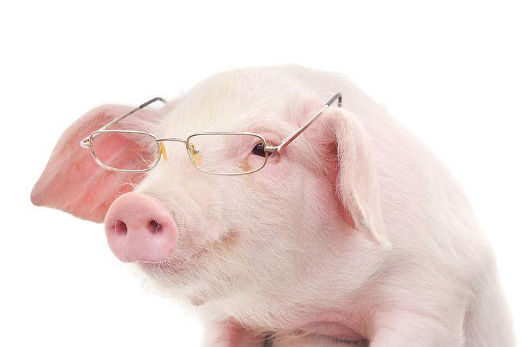 Pig - Alchetron, The Free Social Encyclopedia