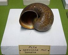 Pila speciosa httpsuploadwikimediaorgwikipediacommonsthu