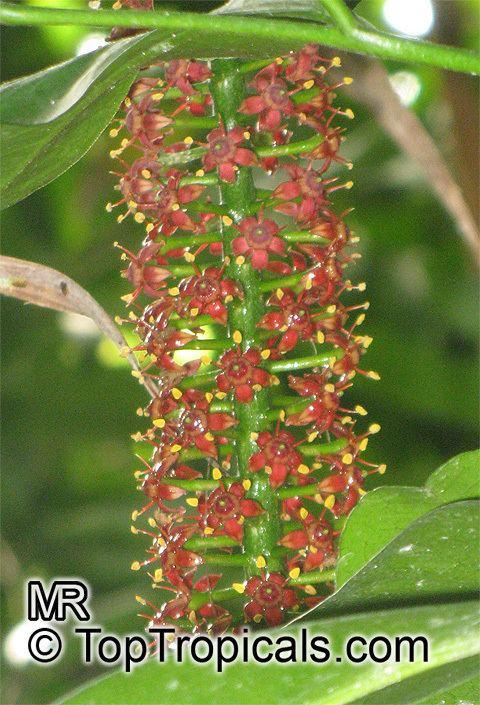 Pilocarpus Pilocarpus pennatifolius Paraguay Jaborandi TopTropicalscom