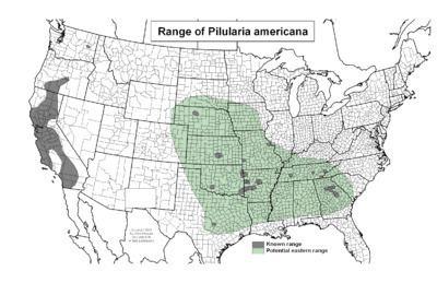 Pilularia americana httpsuploadwikimediaorgwikipediacommonsthu