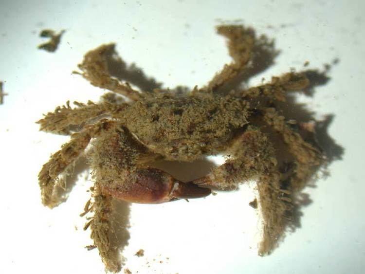 Pilumnus hirtellus MarLIN The Marine Life Information Network Bristly crab