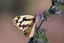 Pinacopteryx eriphia httpsuploadwikimediaorgwikipediacommonsthu