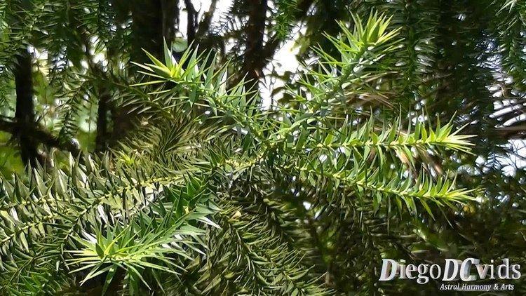 Pinales Araucaria angustifolia Paran pine Brazilian pine Pinales