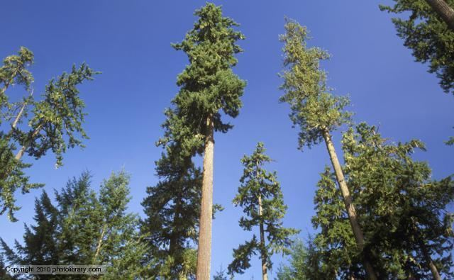 Pinales BBC Nature Modern conifers videos news and facts