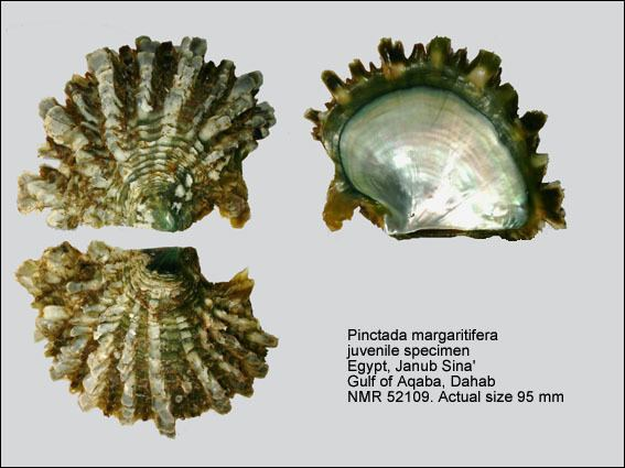 Pinctada margaritifera HomeNATURAL HISTORY MUSEUM ROTTERDAM Mollusca Bivalvia