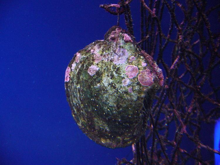 Pinctada margaritifera FilePinctada margaritifera001 Aquarium FinisterraeJPG