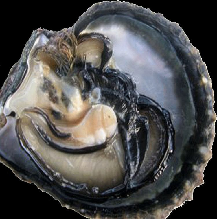 Pinctada margaritifera Pinctada margaritifera Tahitian Black Lip Pearl Oyster Pearl