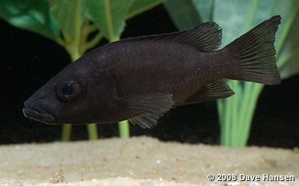 Pindu Stomatepia pindu of Barombi Mbo Cameroon pt2