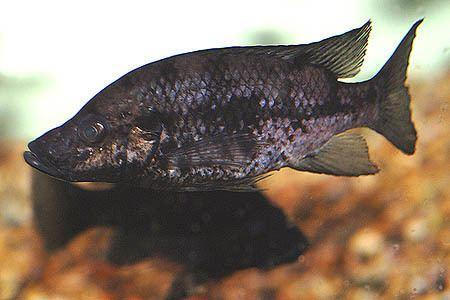 Pindu Stomatepia pindu Seriously Fish