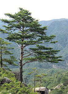 Pine httpsuploadwikimediaorgwikipediacommonsthu