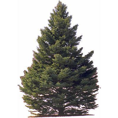 Pine pine meaning of pine in Longman Dictionary of Contemporary English