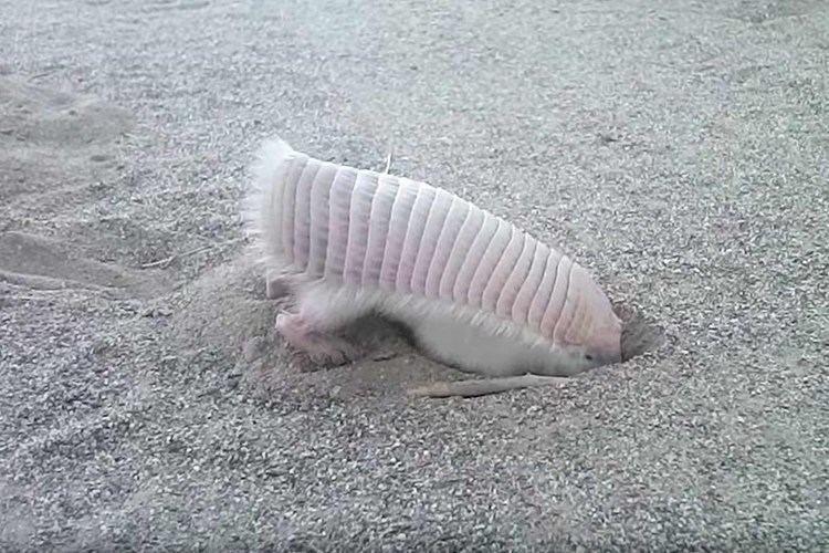Pink fairy armadillo Watching this pink fairy armadillo digging will make you