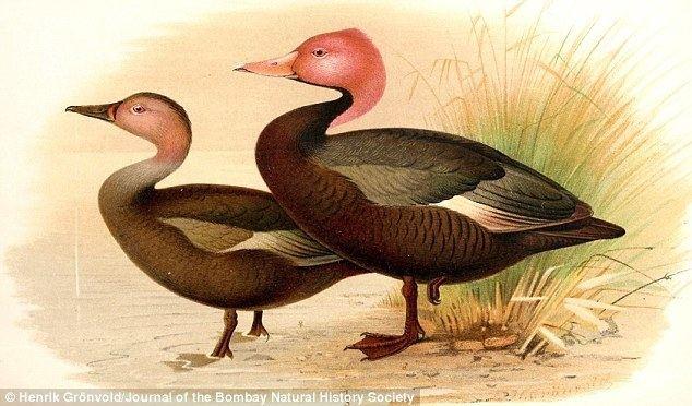 Pink headed duck - Alchetron, The Free Social Encyclopedia