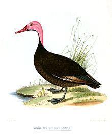 Pink-headed duck Pinkheaded duck Wikipedia