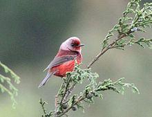 Pink-headed warbler Pinkheaded warbler Wikipedia