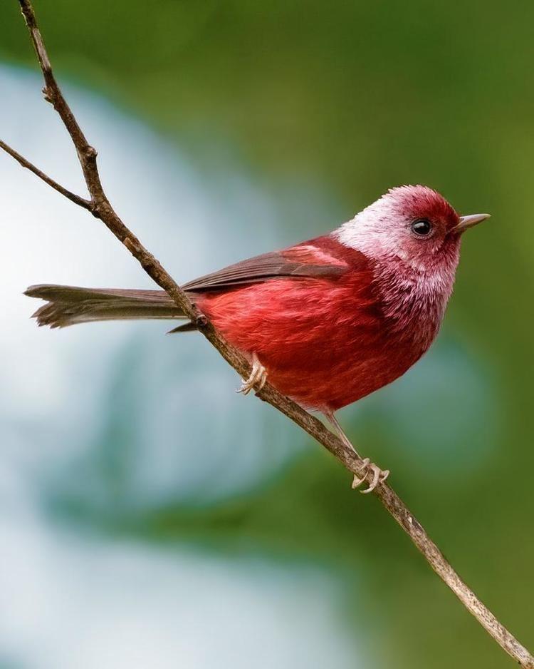 Pink-headed warbler cdnbirdseyephotomediaresizedlarge010596909
