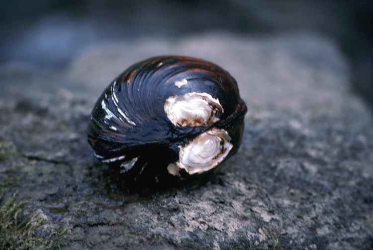 Pink mucket FileClose up of endangered species pink mucket pearlymessel mussel