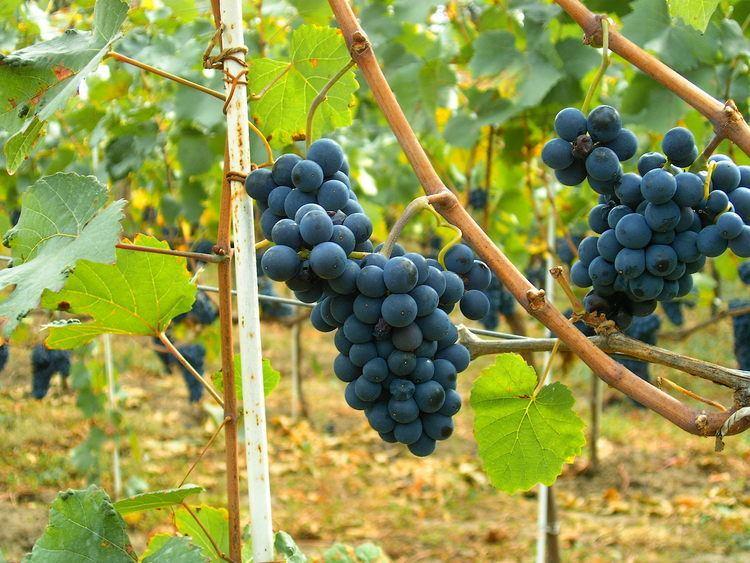 Pinot noir httpsuploadwikimediaorgwikipediaenaaePin