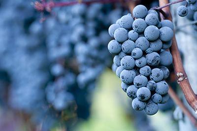 Pinot noir Is Every Pinot A Pinot Noir VinePair