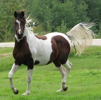 Pintabian Pintabian Horse Info Origin History Pictures Horse Breeds