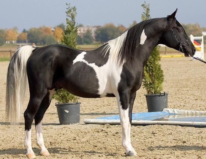 Pintabian 1000 images about Pintabian Horses on Pinterest Horses for sale