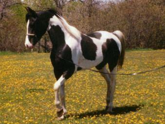 Pintabian Pintabian Horse Registry Inc