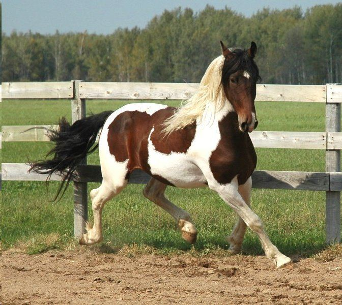 Pinto horse Sweethearts Of The West The Beautiful Pinto Horse by Cheri Kay Clifton