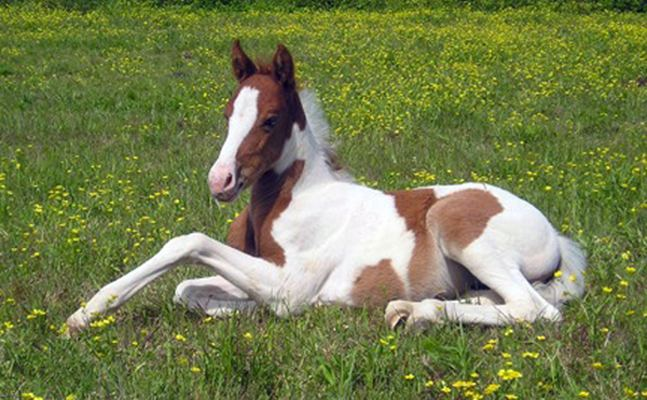 Pinto horse Horse Breed Guide The Pinto Horse Breed Profile Equitrekking